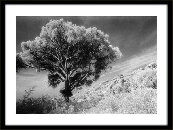 Tree Ste Maxime by Bob Witkowski