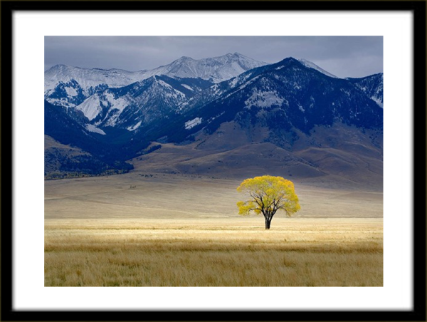 16 x 20 color print of Lone tree in fall color in vast pasture by Dennis Frates